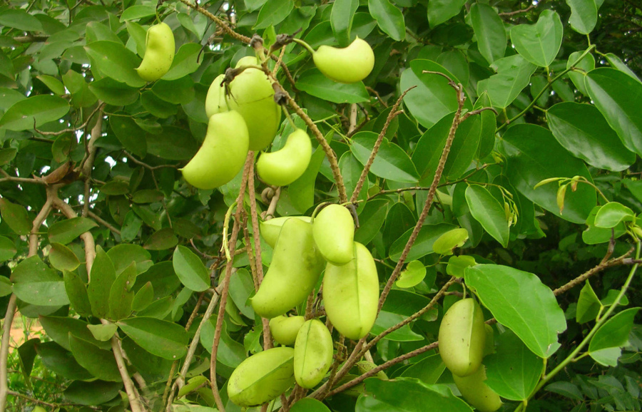 avantages griffonia simplicifolia